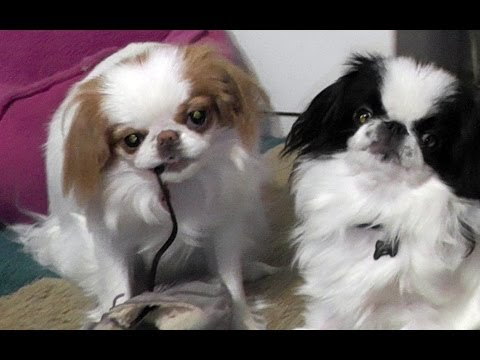Japanese Chin puppies fighting over a shoestring