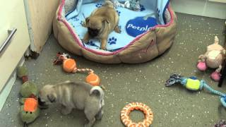 Little Rascals Uk Breeders New Litter Of 3/4 Pug Puppies - Puppies For Sale March 2015