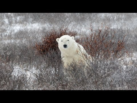 Ghost Bears on the Tundra! Halloween Live Chat