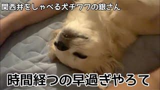 【関西弁をしゃべる犬】チワワの銀さん アスパラおっぴろげ 時間経つのはやすぎやろて…【おしゃべりペット】