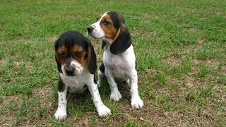 Beagle, Puppies, For, Sale, In, Charlotte, North Carolina, Nc, Lexington, Clemmons, Fuquay Varina, S