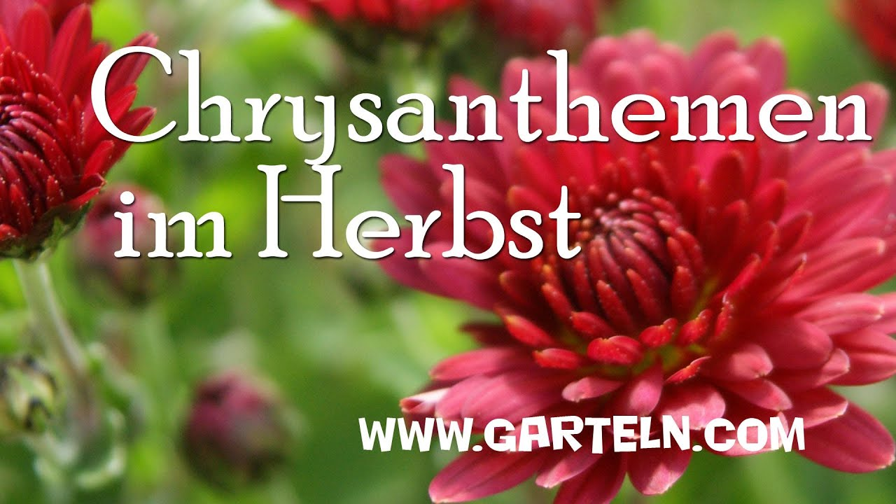 Chrysanthemen Im Herbst Youtube