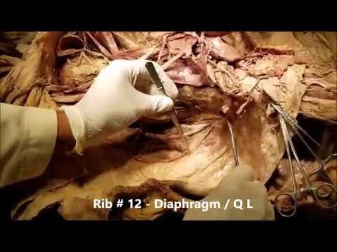 Ultrasound-Guided Steroid Injections for Lateral Antebrachial Cutaneous Nerve Entrapmentиз YouTube · Длительность: 2 мин29 с