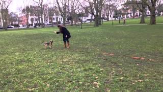 Border Terrier Puppy - Recall Training