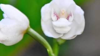 Tauben orchidee (peristeria elata) -