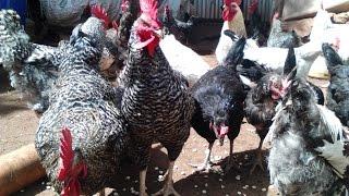 Kari Improved Kienyeji Chicken Training (Part 1) organised by Homerange Poultry Kenya