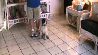 Obedience Training That Will Amaze You By The Miami Dog Whisperer