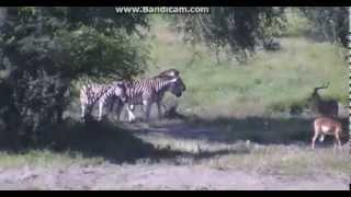 Zebry idą do wodopoju - świat zwierząt Afryki ,, Safari'