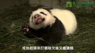 圓圓與圓仔的母女瑜珈 The Giant Panda Baby Doing Yoga with Mom