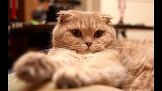 скотиш фолд счастливый. кот и батарея. skotish  fold folded. cat and battery