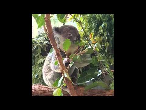 Lone Pine Koala Sanctuary - Part 1