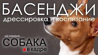 Басенджи. Дрессировка и воспитание собаки.