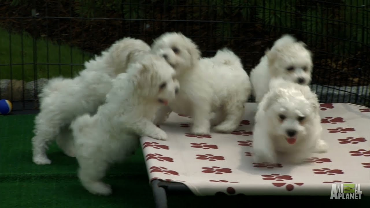 Fluffy White Pups Too Cute Youtube