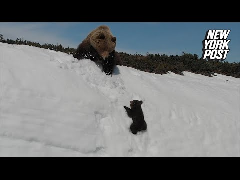 Baby Bear 'Bearly' Makes It Up this Steep, Snowy Mountain | New York Post