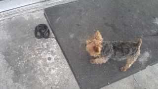 "Yorkshire Terrier ( Yorkie ) Vs Black Racer Snake "" Animal Vs Animal "" Animal Fight Club"