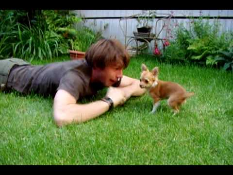 Chihuahua and young man having fun in the garden, going  a bit crazy.