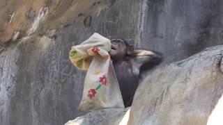 Chimpanzee Uki is trying to wear it チンパンジー ゆきちゃん 着よう...