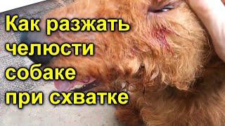 как разжать челюсти собаке при схватке