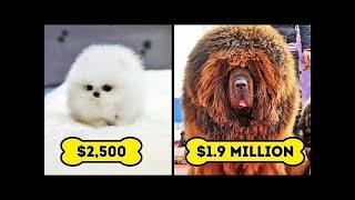 10 Razas De Perros Más Caros Del Mundo