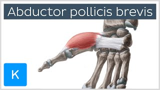 Abductor pollicis brevis muscle - O& I, Function & Innervation - Anatomy Kenhub