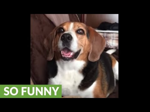 Man has full on conversation with this talking beagle
