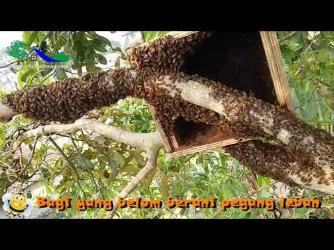 Cara Pemula Agar Bisa Memegang Lebah Dengan Aman-honey Bee Cultivation