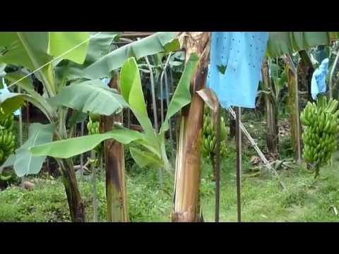 Chiquita Banana Plantation, Guatemala