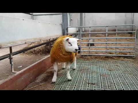 Champion Texel Ram Lamb Raphoe 2017