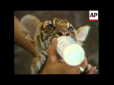 THAILAND: INTERNATIONAL CONFERENCE TO ASSESS STATUS OF TIGERS