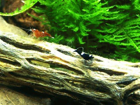 Запуск аквариума для креветок. Set up shrimp tank.