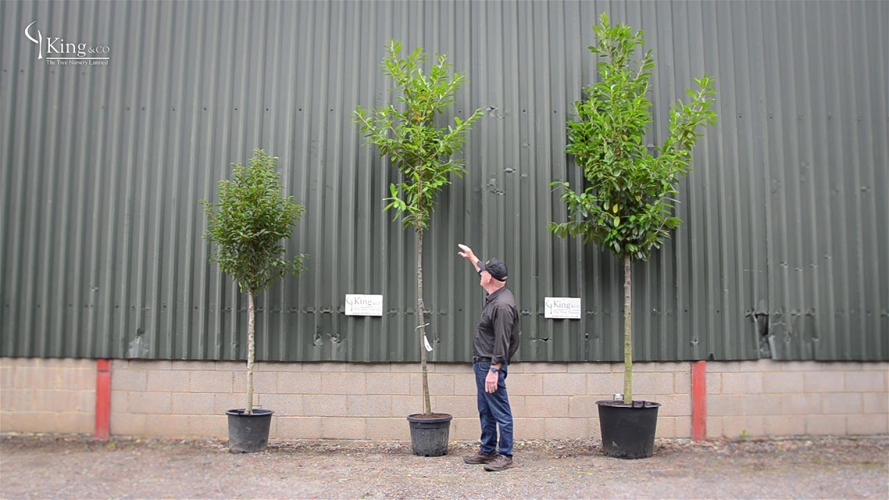 Laurel Trees Create Privacy In Your Garden With An