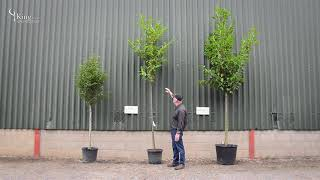 Laurel Trees - Create privacy in your garden with an evergreen screen