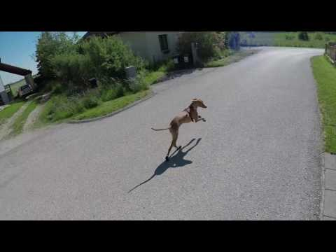 Pharaoh Hound running with shoes