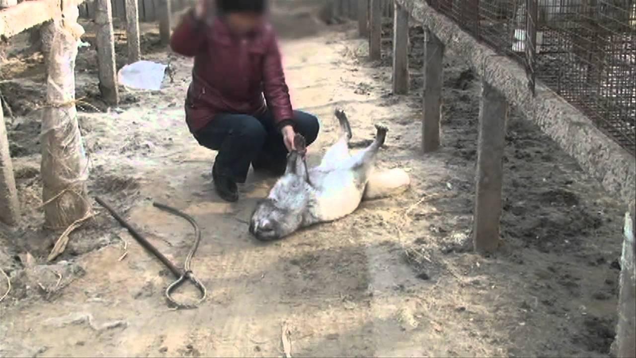 第一部分:皮草行業是怎樣殺死狐狸的?