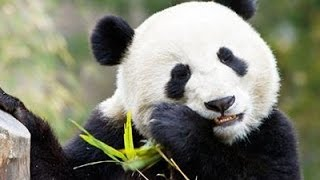 Без ума от панды