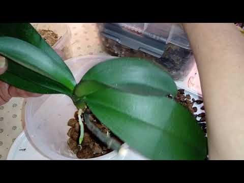 Пересадка Орхидеи из Керамзита в Грунт EffectBio