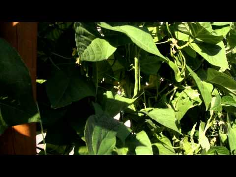 haricots-verts-sur-un-mur-géant-vertical-de-2m50-dans-un-jardin