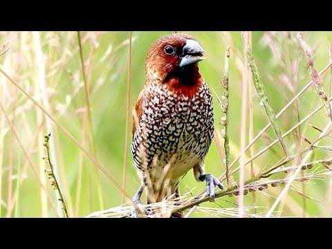 Burung Pipit Pinang / Emprit Peking Gacor Suara Memukau