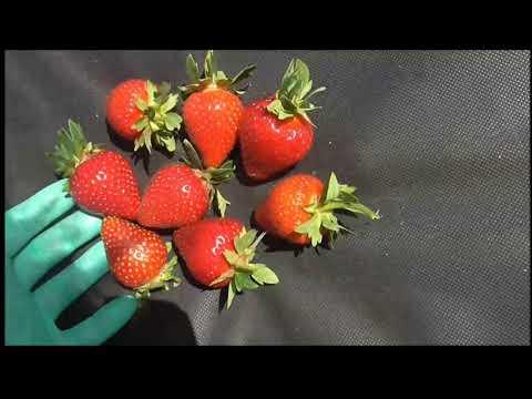МОЛИНГ СТОЛЕТИЕ - ранний сорт со сладкой ягодой. (Шотландия). | выращивать | столетие | светланы | светлана | клубнику | клубники | клубника | саженцы | ранние | молинг