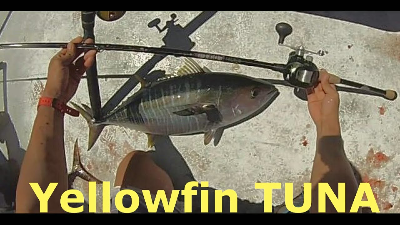 Yellowfin Tuna Fishing Malihini H M Landing San Diego