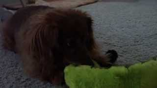 One Tough Dog Toy For A Dachshund | Kyjen Dog Toy Review