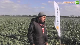 система защиты капусты от компании BASF     Clause день поля