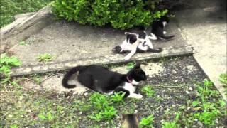 能登・椿崎のノラの子ネコたち.