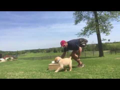 "Puppy Training ""Dax"" - Retrieve to Place (6)"