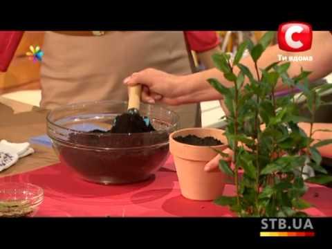 Как посадить лавровое дерево из семян