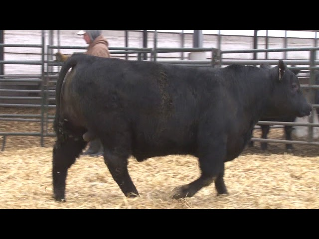 Schiefelbein Angus Farms Lot 121