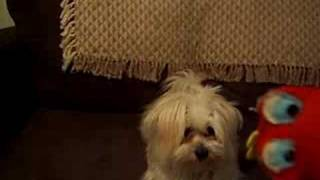 Maltese Pomeranian Playing With Puppet