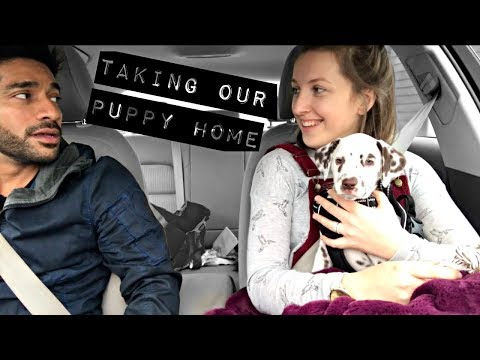 Getting a Dalmatian Puppy | Bringing Blue Home | Rita H and Co.
