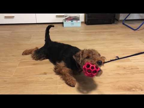 Sara - the Welsh Terrier