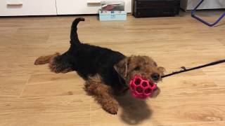 Sara  the Welsh Terrier